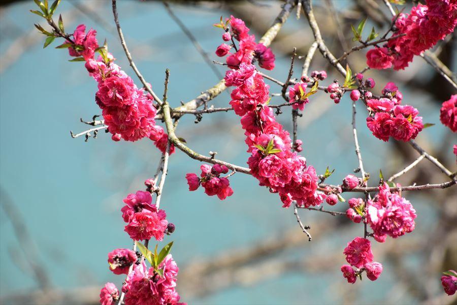 美濃田桜3