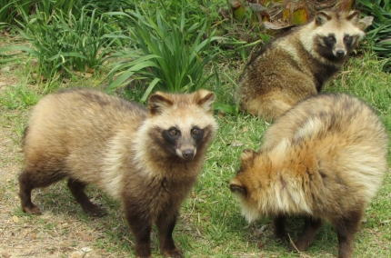 ベトナム 狸 野生動物 狩猟 北関東