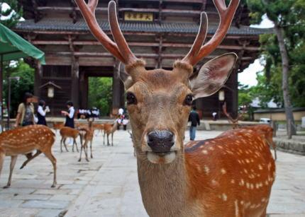 奈良公園 鳶職 鹿 斧 天然記念物