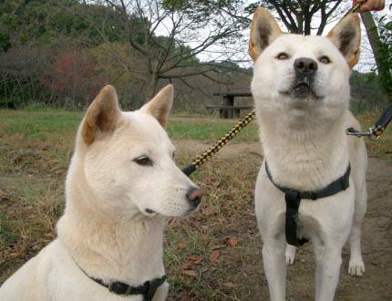 珍島犬 犬食 韓国