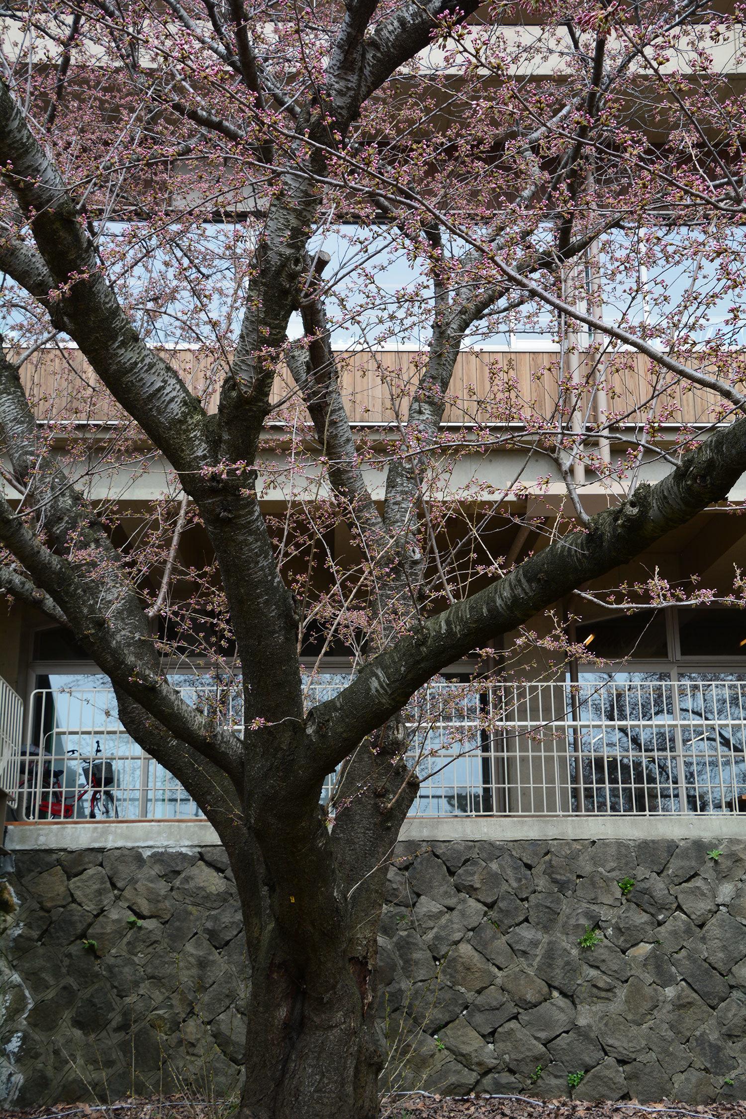 能代市上町 能代市役所 桜220210406
