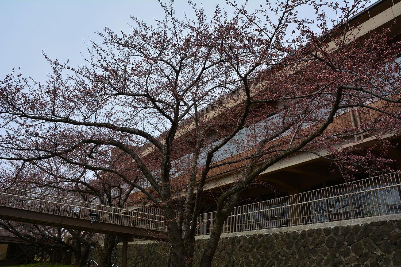 能代市上町 能代市役所 桜420210406