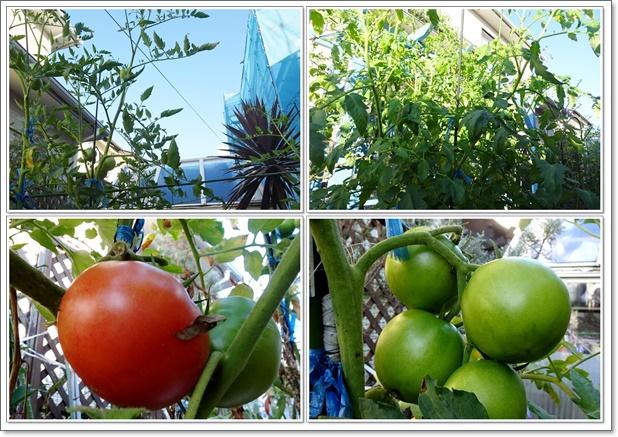 2021年も庭はトマトでいっぱい!