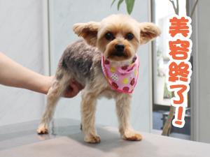 町田駅前徒歩5分のペットショップKAKOでトリミングに来店したヨークシャーテリアのうにちゃん
