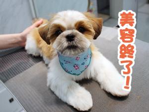 町田駅前徒歩5分のペットショップKAKOでトリミングに来店したシーズーの吟二郎くん