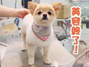 町田駅前徒歩5分のペットショップKAKOでトリミングに来店したポメラニアンのコロッケちゃん