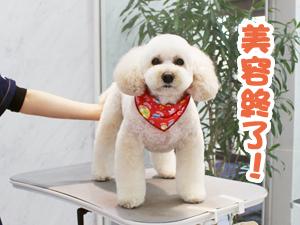 町田駅前徒歩5分のペットショップKAKOでトリミングに来店したトイプードルのアンジュちゃん