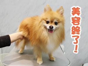 町田駅前徒歩5分のペットショップKAKOでトリミングに来店したポメラニアンのやまとくん