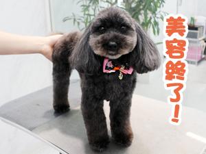 町田駅前徒歩5分のペットショップKAKOでトリミングに来店したトイプードルのおはぎちゃん