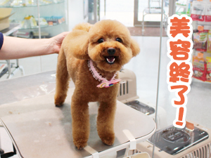 町田駅前徒歩5分のペットショップKAKOでトリミングに来店したトイプードルのりんちゃん