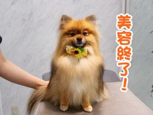 町田駅前徒歩5分のペットショップKAKOでトリミングに来店したポメラニアンのおとめちゃん