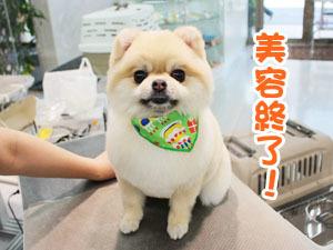 町田駅前徒歩5分のペットショップKAKOでトリミングに来店したポメラニアンのきなこちゃん