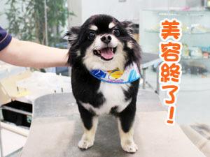 町田駅前徒歩5分のペットショップKAKOでトリミングに来店したチワワののあちゃん