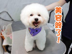 町田駅前徒歩5分のペットショップKAKOでトリミングに来店したトイプードルのレディちゃん