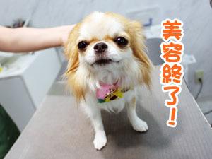 町田駅前徒歩5分のペットショップKAKOでトリミングに来店したチワワのジュノちゃん