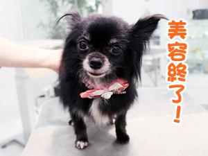 町田駅前徒歩5分のペットショップKAKOでトリミングに来店したチワワのクロちゃん