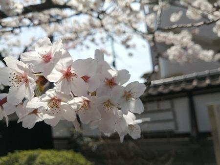 2021桜の花