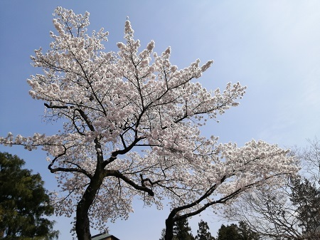 2021桜の木