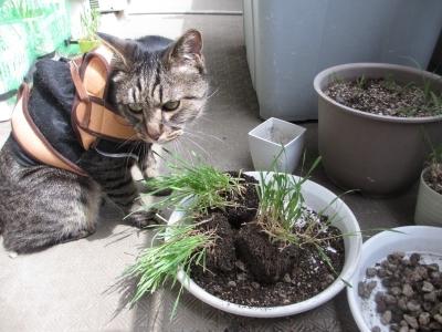 猫草の手入れを邪魔