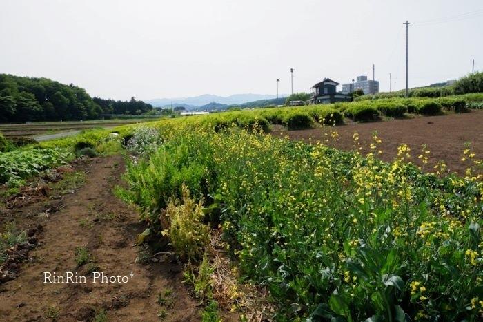 2021年5月下加治茶畑越しの山景