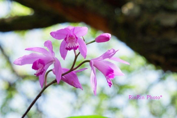 2021年5月観音寺シランの花