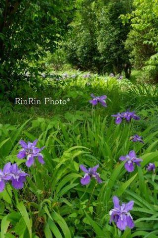 2021年5月大河原イチハスの花
