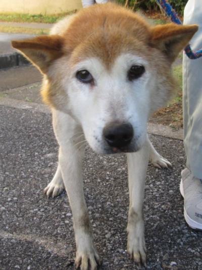 栃木県収容犬2020-11-0083-01