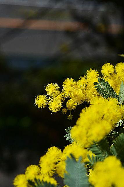 mimoza01