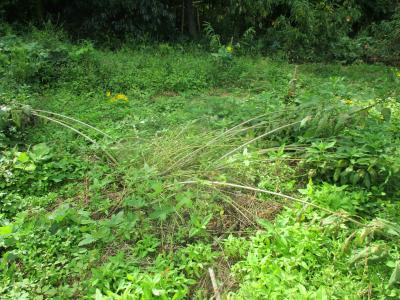 200928菊芋が倒れた