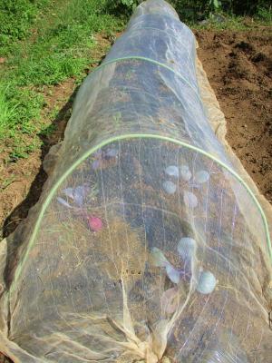 201002紫キャベツ・芽キャベツ定植