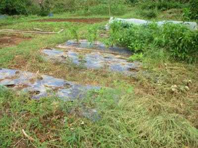 201005トマトの後の片付け1