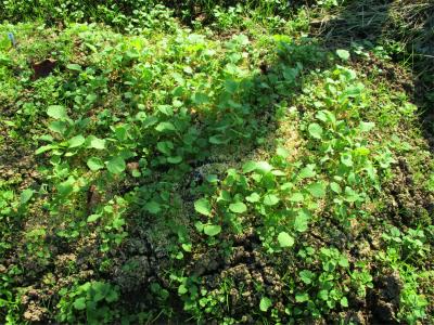 201018のらぼう菜の芽が出た