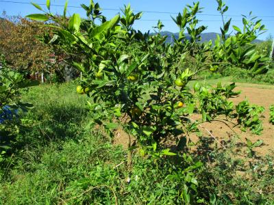 201018色づく柑橘