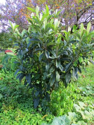 201019枇杷の木
