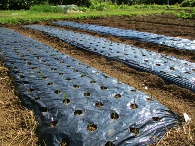 201027ニンニクの芽出しと追加植え