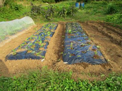 201027紅菜苔定植