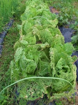 201027虫食いの白菜
