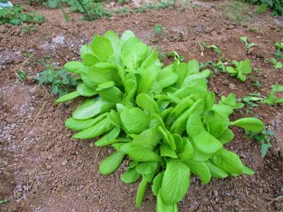 201103サラダ菜
