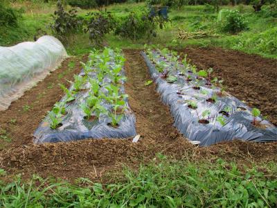 201103紅菜苔とアスパラ菜