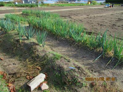 201109実家畑のネギ