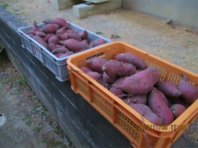 201109収穫したさつまいも