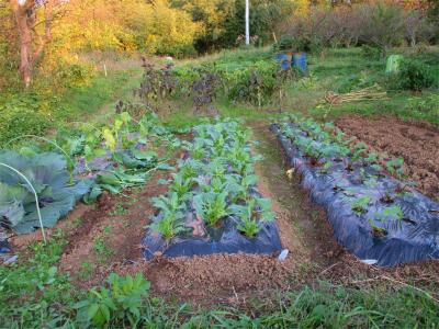 201111アスパラ菜・紅菜苔