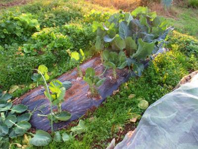 201111芽キャベツの葉欠きと施肥