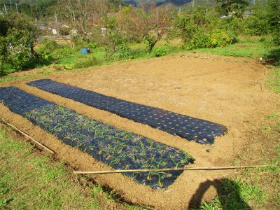 201111玉ねぎ畝施肥