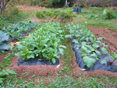 201122アスパラ菜はワサワサ