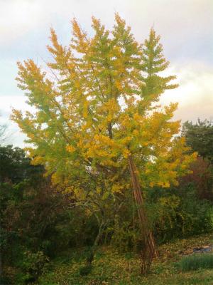 201122銀杏の黄葉
