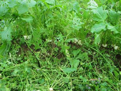 201125蕪の草取り