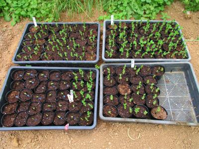 201128豆類の苗