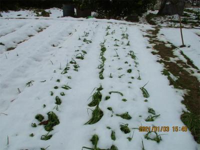 210103ニンニクも雪の中