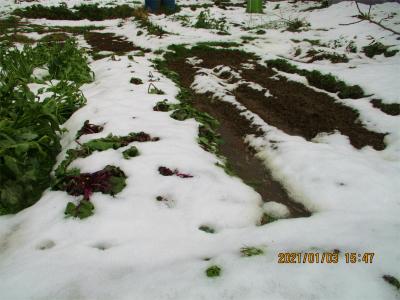 210103雪でぺちゃんこの紅菜苔